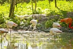 Фламинго пася в пруде Стоковое фото RF