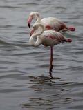 2 фламинго принимая пролом стоковая фотография