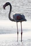 Фламинго против света стоковые фото