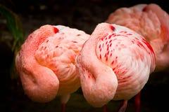 Фламинго спать Стоковое Фото