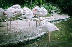 Фламинго спать стоковые фото