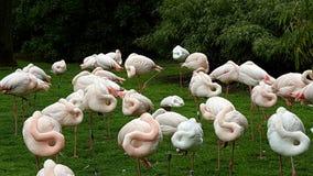 Фламинго спать Стоковые Изображения
