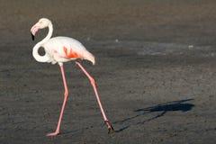 Фламинго с тенью стоковое изображение rf