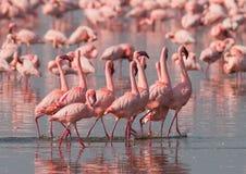 Фламинго танца ухаживания Кения вышесказанного Национальный парк Nakuru Национальный заповедник Bogoria озера стоковое изображение