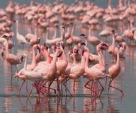 Фламинго танца ухаживания Кения вышесказанного Национальный парк Nakuru Национальный заповедник Bogoria озера стоковое изображение rf