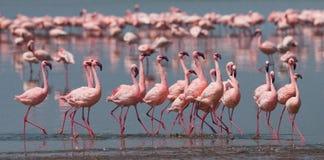 Фламинго танца ухаживания Кения вышесказанного Национальный парк Nakuru Национальный заповедник Bogoria озера стоковая фотография rf