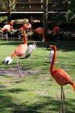 Фламинго Флориды распарывая в веснах Homosassa Стоковые Изображения RF