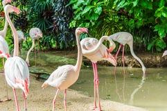 Фламинго. Стоковые Фото