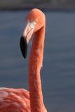 Фламинго. Стоковая Фотография