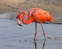 Фламинго. Стоковое Фото