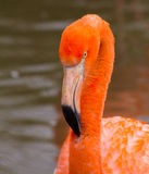 Фламинго - Стоковые Изображения RF