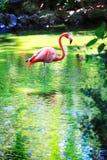фламинго Стоковые Изображения
