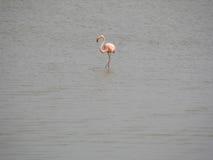 фламинго 2 Стоковое Изображение RF