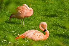 Фламинго Phoenicopterus Стоковые Изображения RF