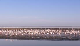 Фламинго - Swakopmund, Намибия Стоковое Изображение RF