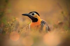 Фликер Campo, campestris Colaptes, экзотический woodpecker в среду обитания природы, птица сидя в голове травы, желтых и черных,  стоковые изображения rf