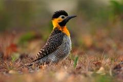 Фликер Campo, campestris Colaptes, экзотический woodpecker в среду обитания природы, птица сидя в голове травы, желтых и черных,  стоковое фото rf