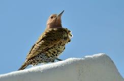 фликер colaptes auratus северный Стоковые Фото