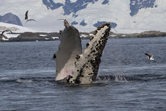 Флипперы горбатого кита те сальто под водой Стоковое Изображение