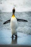 Флипперы flapping пингвина короля на влажном пляже Стоковое Фото
