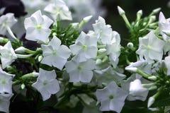 Флоксы Цветок сада Стоковое Фото