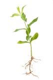 Флокс ростка зеленого растения Стоковое фото RF