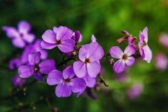 Флокс сирени цветет в саде, освещенном по солнцу на зеленой предпосылке Стоковые Фото