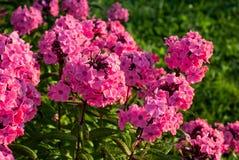Флокс Paniculata Стоковые Фотографии RF
