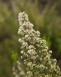 Флора arborea Gran Canaria - Эрики Стоковое Изображение RF