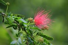 Флора: Surinamensis Calliandra, Французские Гвианы Стоковые Фотографии RF