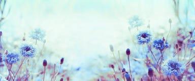 Флористическая предпосылка природы с cornflowers в саде или парке, знамени Стоковые Фотографии RF