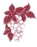 Флористическое украшение - виноградины Стоковое фото RF