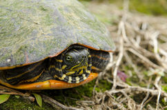 Флорида Красно-bellied конец-вверх черепахи Стоковые Изображения RF