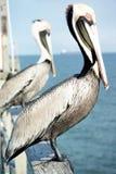 Флорида 2 пеликана 1999 Стоковое Фото