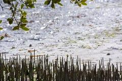 Флорида пользуется ключом мангровы Стоковое Изображение