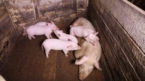 Хавронья и поросята в угле свинарника сток-видео