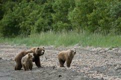 хавронья новичков медведя коричневая стоковая фотография rf