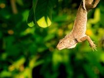 Хамелеон висел в саде стоковые фотографии rf