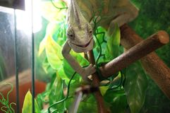 Хамелеон в зеленых цветах усмехается стоковые изображения