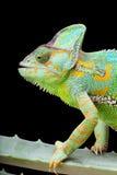 хамелеон Иемен Стоковая Фотография RF
