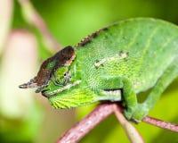 Хамелеон - Мадагаскар Стоковые Изображения