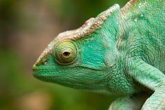 Хамелеон - Мадагаскар Стоковые Фотографии RF