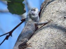 Хамелеон на дереве в саде Таиланда стоковое фото rf