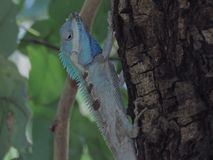 Хамелеон на дереве в саде Таиланда стоковые изображения rf