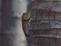 Хамелеон на дереве в саде Таиланда стоковые фотографии rf