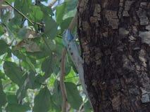 Хамелеон на дереве в саде Таиланда стоковые изображения