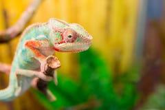 Хамелеон на хамелеоне ветви на ветви Стоковое Изображение