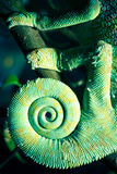 хамелеон Стоковые Изображения
