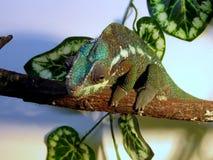 хамелеон Стоковые Фото