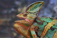 хамелеон Стоковые Изображения RF